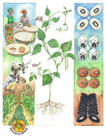 Cowpea seeds